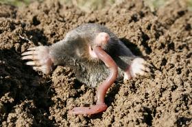 Moles Eat Earth Worms!