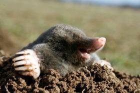 Mole Control: picture of a ground mole