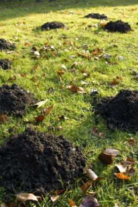 Lawn Mole Control, Mole Hills