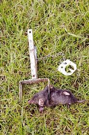 Dead mole caught in trap