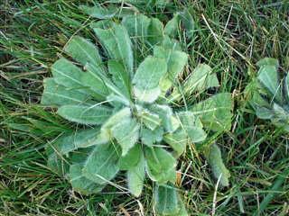 Common Mullein  Verbascum thapsus